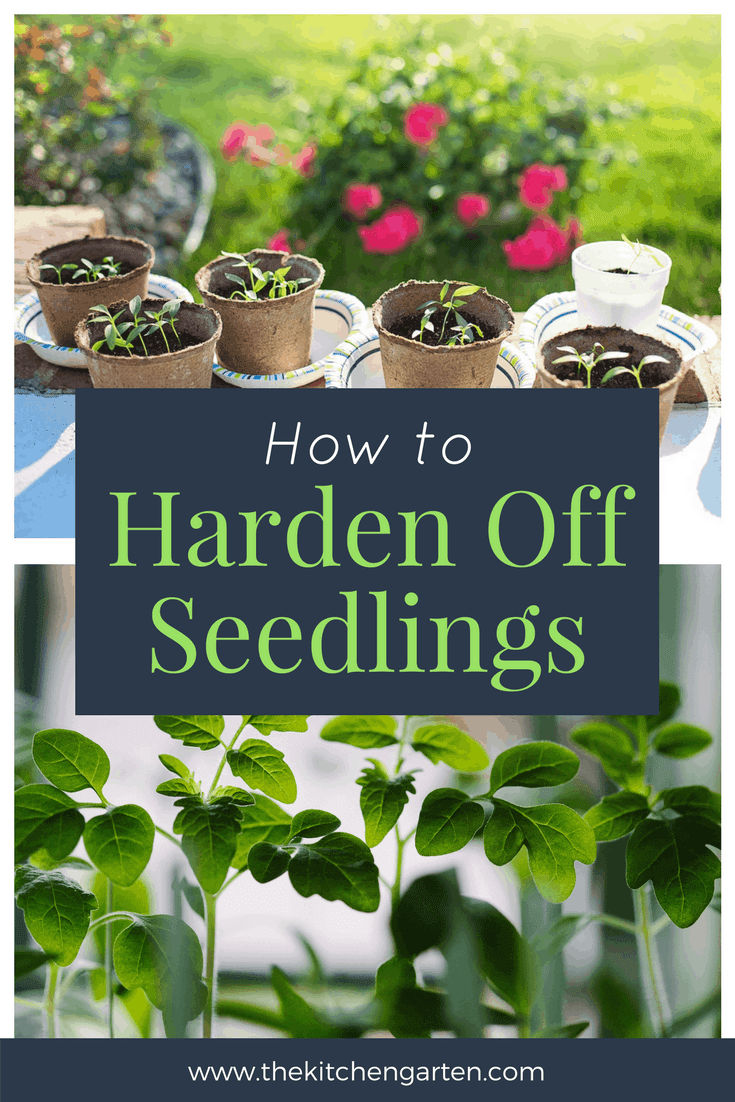 Harden off seedlings to give them the best chance of success in your garden this year. This simple and gradual process helps acclimate your new seedlings to the great outdoors! #garden #gardening #seedlings