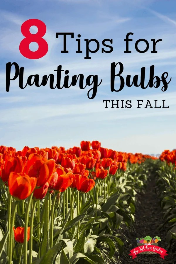Planting bulbs in the fall is a great way to prepare for a flower-packed spring! Use these 8 tips to make planting bulbs this fall a success! #flowers #blooms #fall
