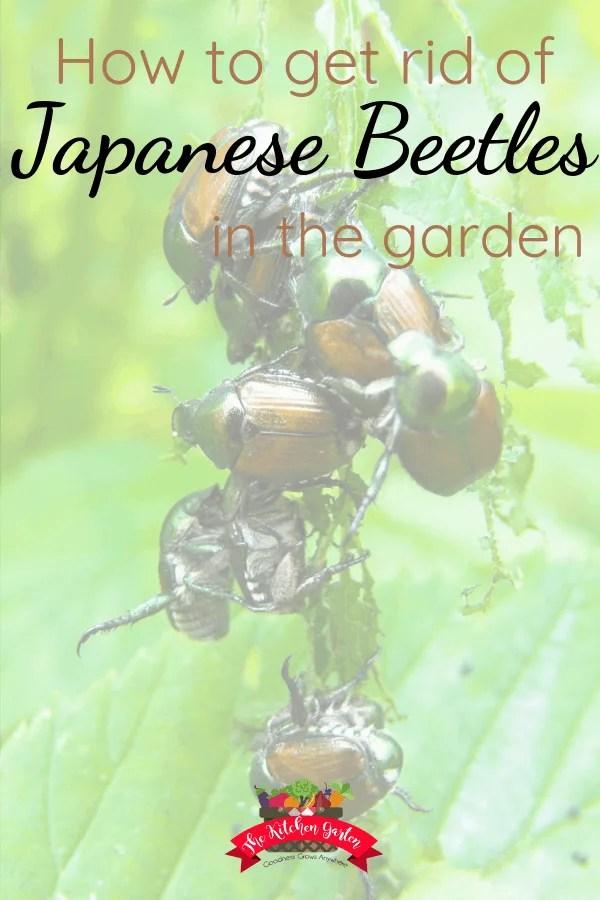 japanese beetles eating a leaf