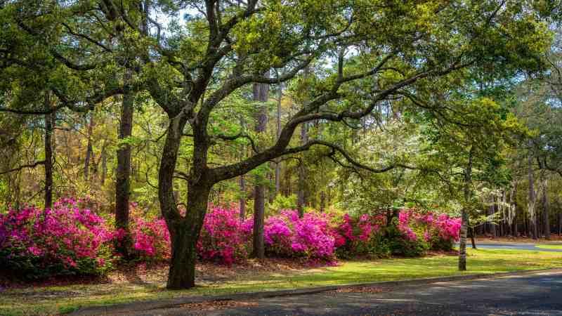 blooming azalea bushes growing under trees