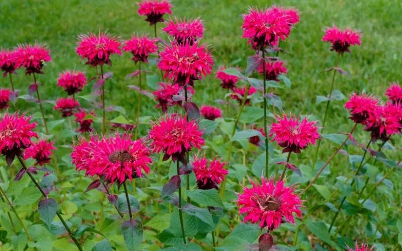 pink bee balm in garden