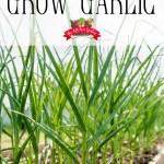 garlic growing in a raised bed garden