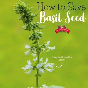 How to Save Basil Seed