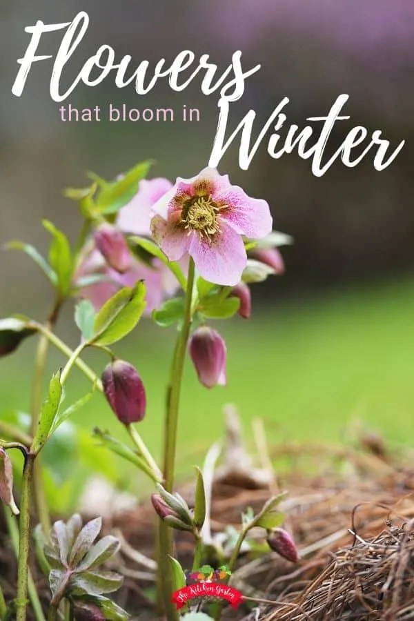 hellebore blooms with grass in the background