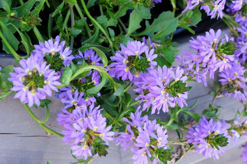 purple fan flowers with green stems