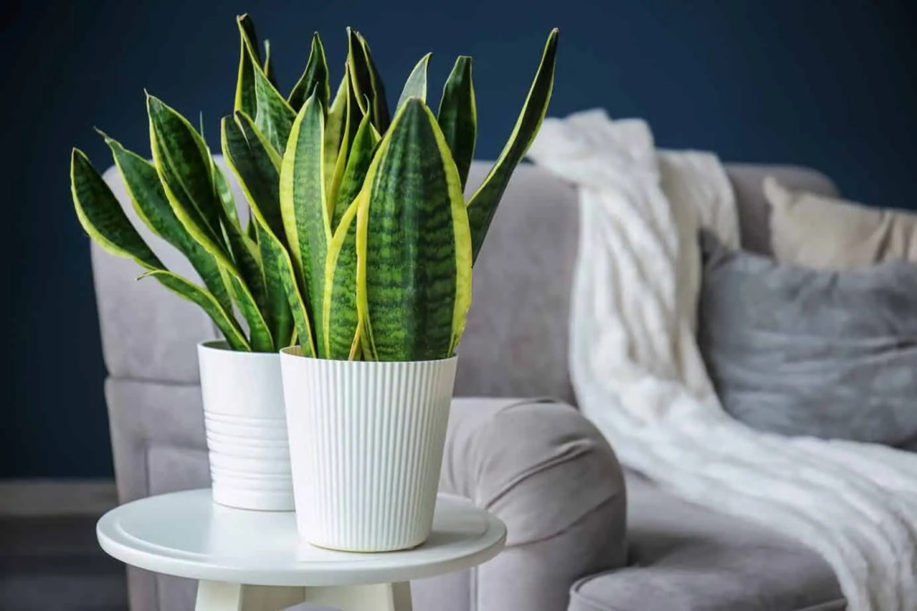 snake plants in white planters