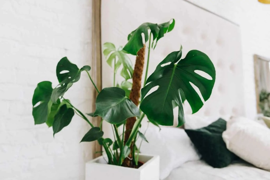 philodendron in white pot beside bed