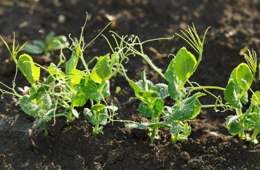 Young pea plants growing in rich garden soil