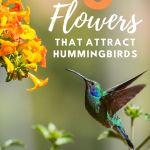hummingbird feeding at yellow flowers