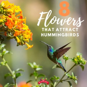 hummingbird at yellow blooms