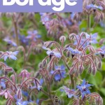 blue blooms of a borage plant with green leaves in the background