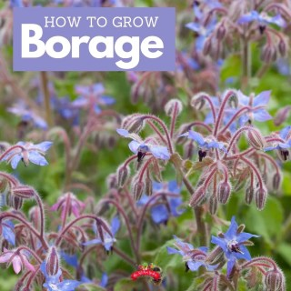 How to Plant, Grow, and Use Borage