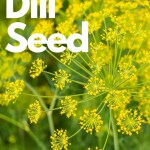 yellow dill blooms full of seeds