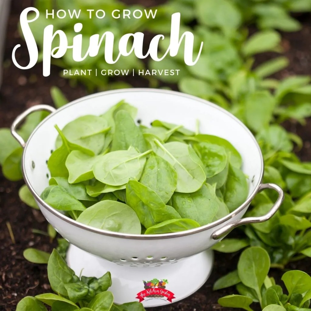 fresh picked spinach in a white colander in a spinach patch