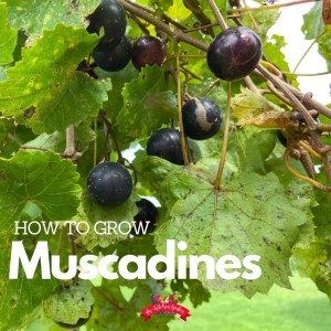 dark muscadines on a green vine