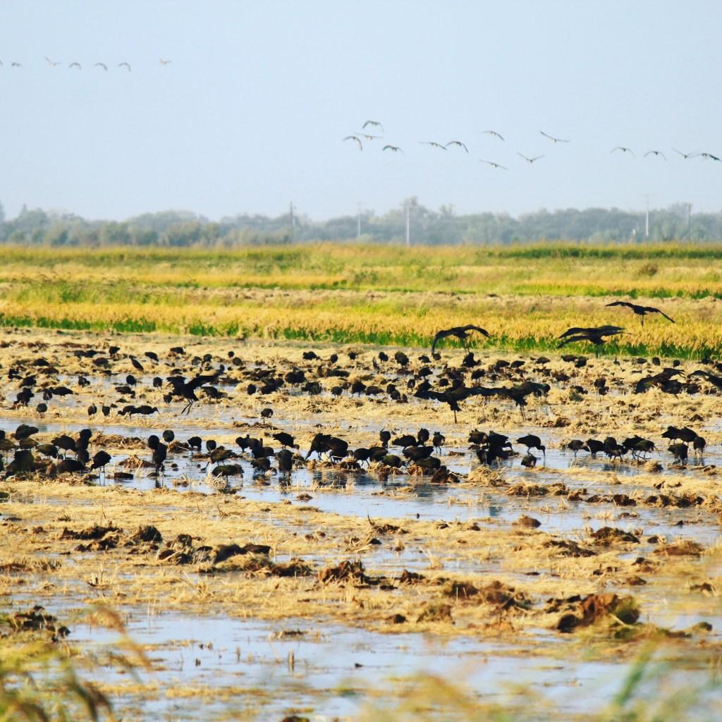 birds in rice field