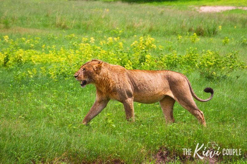 A Lion in Botswana