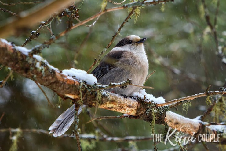 Gray Jay in Algonquin Park