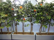 Knitted orange trees