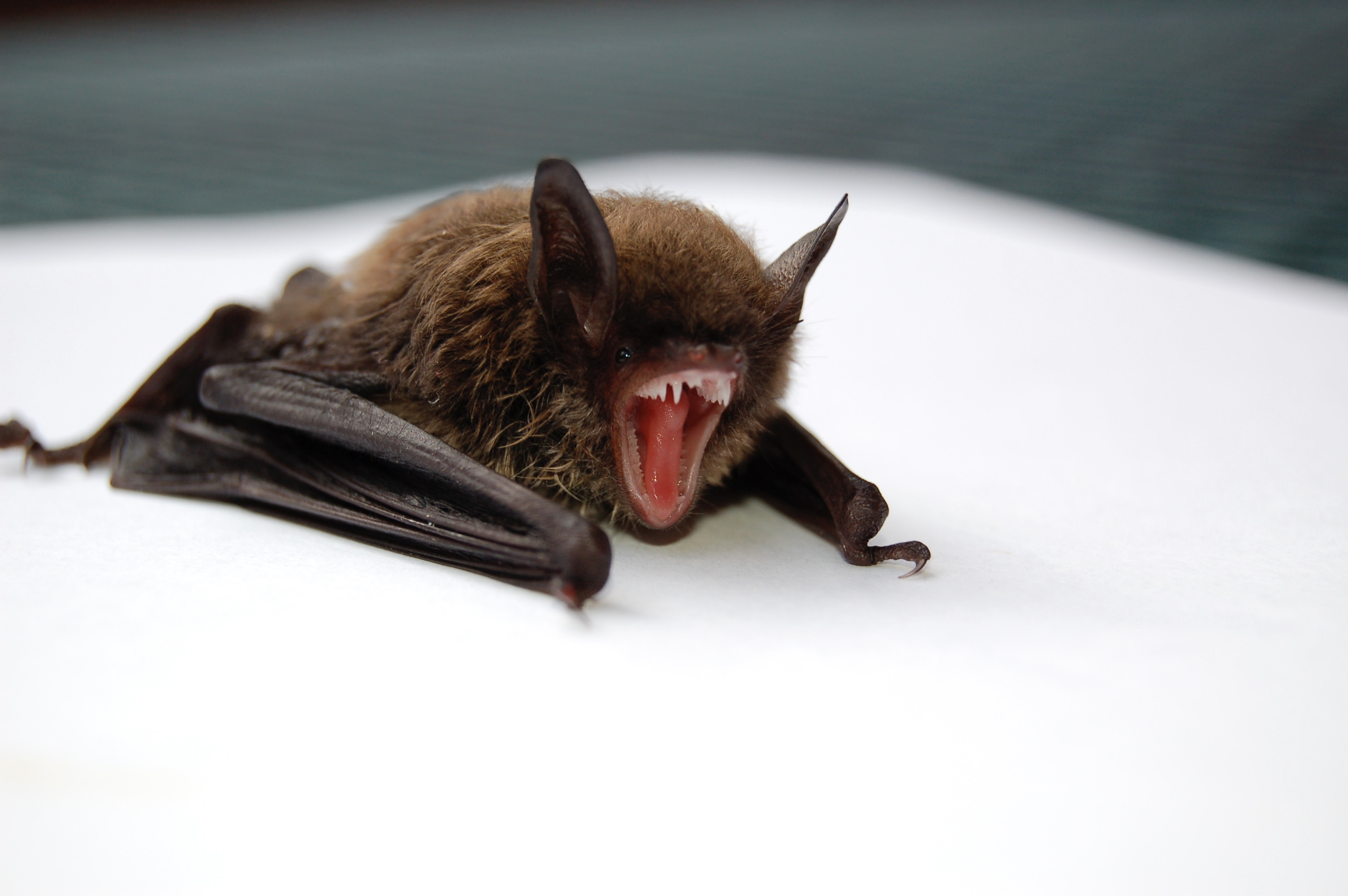 A small fuzzy brown vampire bat sits on a white table.