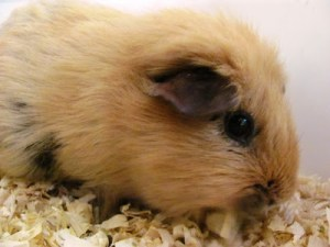 Rosie the Guinea Pig Visits