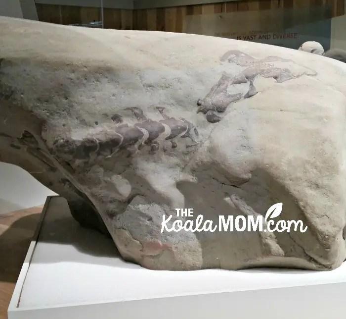 Dinosaur skeleton in rock at the Royal Tyrell Museum in Alberta