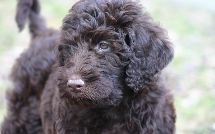 Image Result For Hypoallergenic Labradoodle For Sale