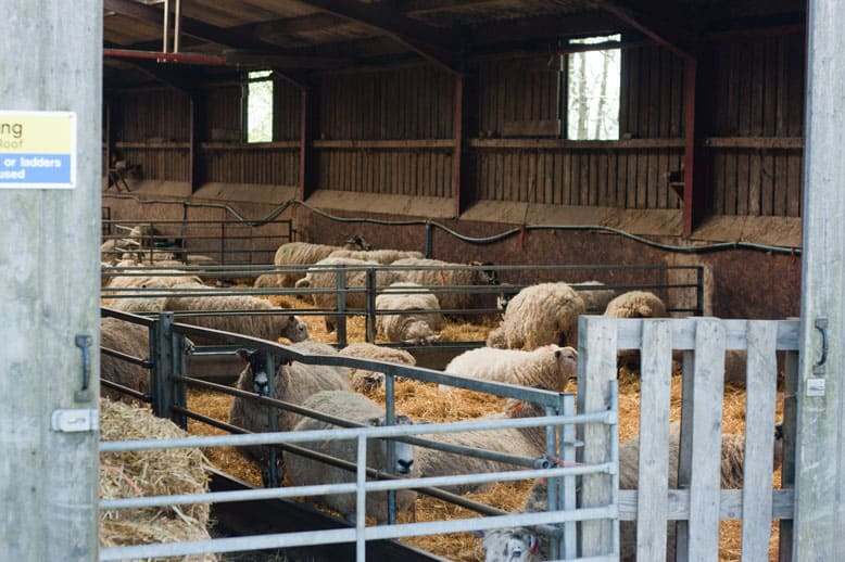 Lambing at Blaze farm