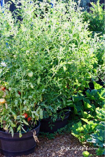 Tomato Plants_theladydiy