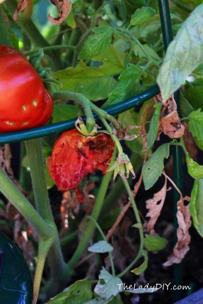Tomatoes_eaten by rats_theladydiy