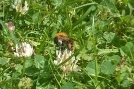 Bees in clover