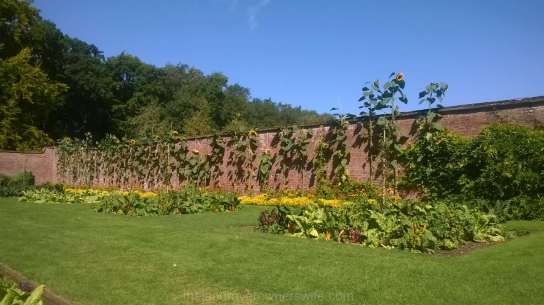 Outside, the sunflowers towered over the wall