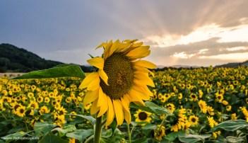 Polje sončnic, Pesnica