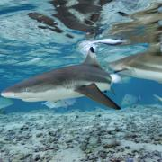 Warming waters are causing less blacktip sharks to migrate to South Florida