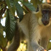 Monkey business in South Florida: Dania vervet monkey found in Cooper City