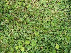 Lawn Thatch Dethatching