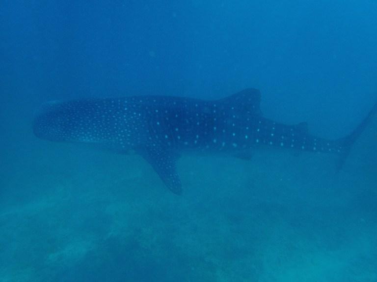 A juvenile whale shark.