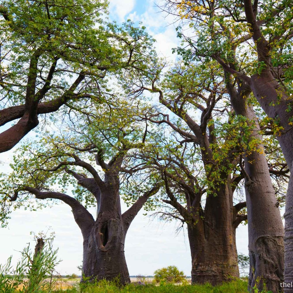 Baines' Baobabs