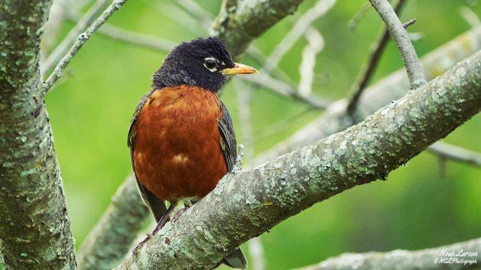 Rispetto Poem: The robin still sings