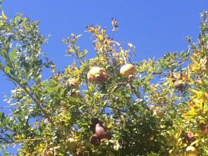 @Casacallistemon - Pomegranates