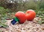 Oops! Craig slips and falls head first into a rotten tomato!
