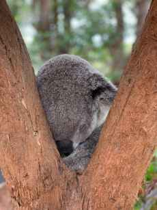 photo of koala bear sleeping on tree