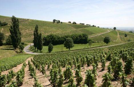 VInes of Chateau Javernand