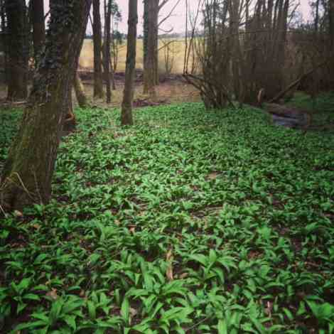 Wild garlic ready for picking