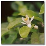 Orange blossom is distliled into the fragrant Neroli essence