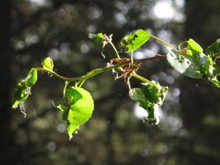The start of the infestation — larvae have eaten much of the leaves.