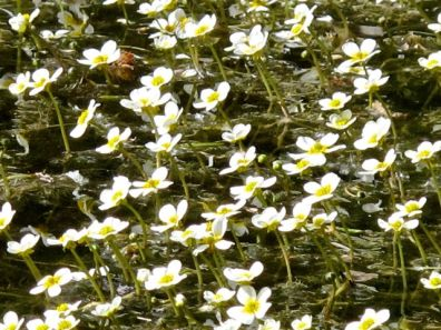 Floating mat of white water crowfoot