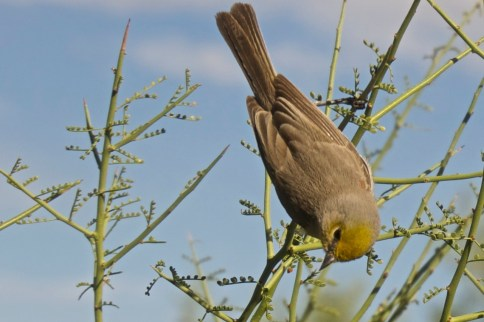 Female verdin, less yellow on head
