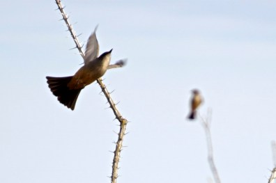 Say's phoebe launching into the air