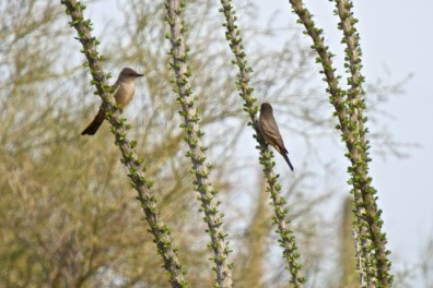 Say's phoebes on ocotillo